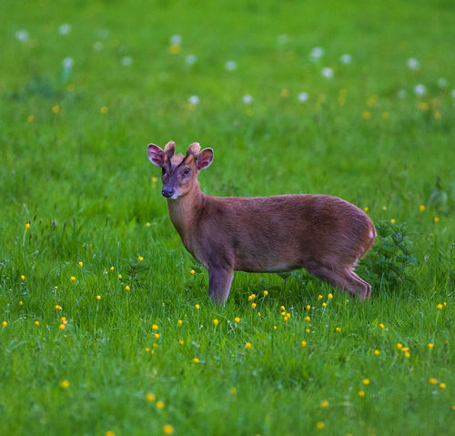 A muntjac deer stands confidently in a meadow in Oxfordshire, England. Deer Meadow Flowers Meadowlands Animal Animal Themes Animal Wildlife Animals In The Wild Deer Field Grass Green Color Herbivorous Meadow Meadows Muntjac Muntjac Deer Nature No People One Animal Outdoors Oxfordshire Selective Focus