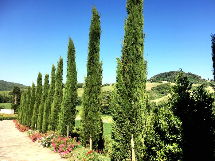 Road Tuscany Countryside Cypress Trees  Plant Growth Sky Green Color Clear Sky Nature Tree Beauty In Nature Sunlight Scenics - Nature Outdoors Field Tranquility