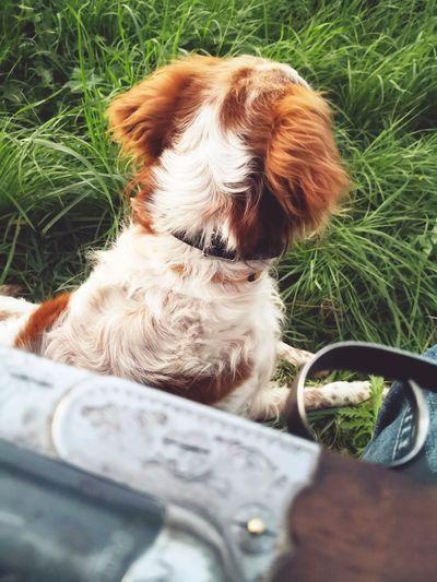 Hunting dog Nopeople Shotgun Outside Hunting Hunt Dog Outdoors Pets Dog Car Close-up Grass