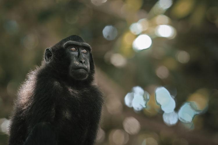 Close-up of black monkey sulawesi sitting outdoors