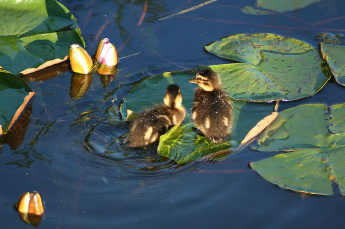 At The Park Little Ducks Animal Animal Themes Animals In The Wild Bird Birds Day Duck Ducks Ducks At The Lake Floating On Water Green Nature High Angle View Lake Leaf Leaves Lillypads Little Ones Nature No People Swimming Water Young Animal Young Bird