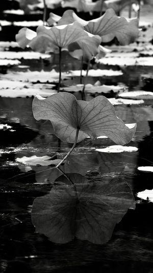 荷叶 Water Nature Day Close-up No People Plant Outdoors