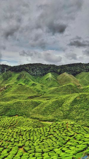 Tea farm by the