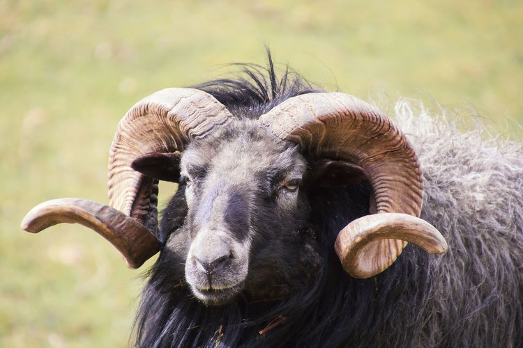 a Ram with