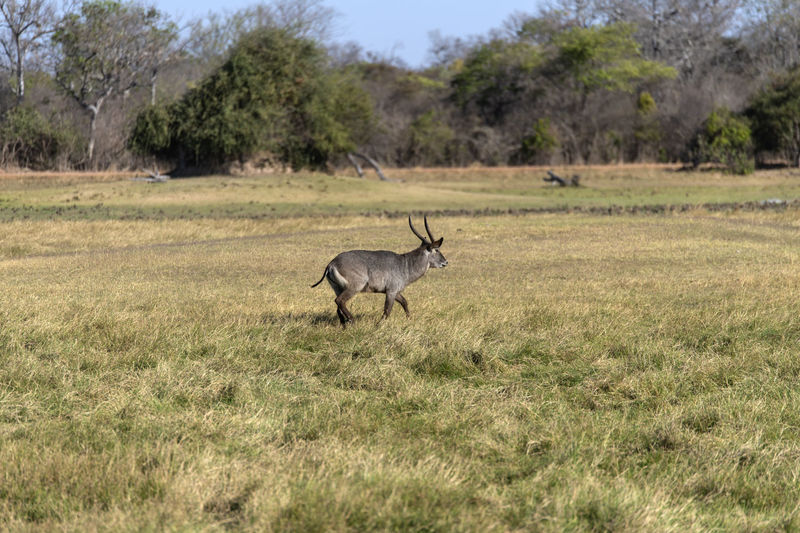 Waterbuck in a field