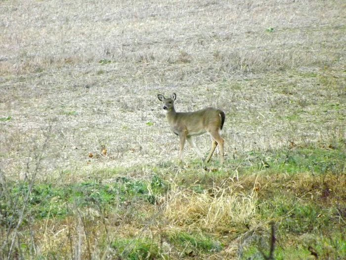 Animal Themes One Animal Nature Field Animal Wildlife Outdoors Animals In The Wild No People Taking Photos Pennsylvania Beauty Nature Photography Pennsylvania Farm Wildlife Photography Wildlifephotography Landscape Animals In The Wild Wildlife Standing Tranquility Deer Animal