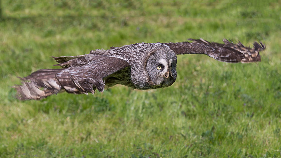 A great grey gray owl in flight flying low over grass field in search of prey Great Grey Owl Animal Wildlife Animals In The Wild Bird Of Prey Close-up Flying Gray Hunting Low Flying No People One Animal Outdoors Owl Portrait Spread Wings