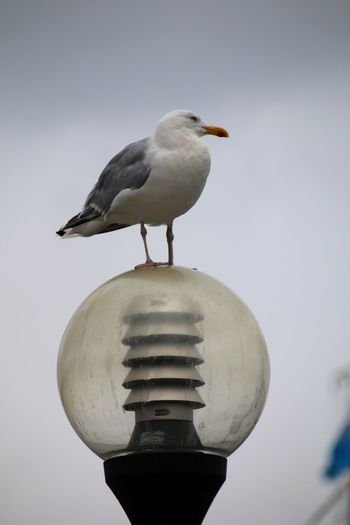 Seagull Seagull Sitting On A Street Lamp Street Lamp Bird Perching One Animal Animals In The Wild Animal Wildlife Animal Themes Day Outdoors No People Close-up