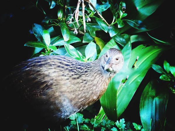 Weka Nativebirds Birds New Zealand Nature Nature_collection Foliage, Vegetation, Plants, Green, Leaves, Leafage, Undergrowth, Underbrush, Plant Life, Flora