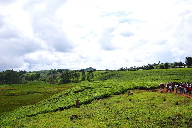 Nyakatooma Uganda People Tea Crop Rural Scene Agriculture Field Sky Cloud - Sky Landscape Plantation Cultivated Land Terraced Field Agricultural Field Farmland