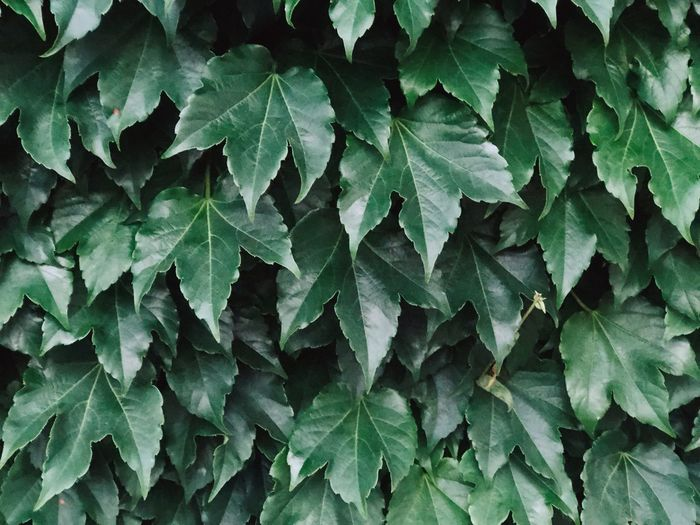 Green Leaf Plant Part Green Color Growth Full Frame Backgrounds No People Close-up Nature Plant Outdoors Leaves Ivy