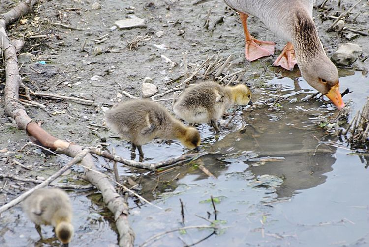 Baby Goose And