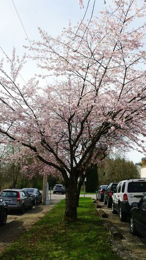blooming cherry blossoms Taking Photos Enjoying Life Hello World Seeing The Sights