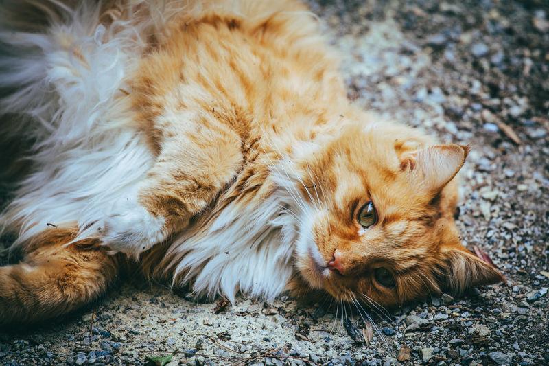 Portrait of ginger cat lying down