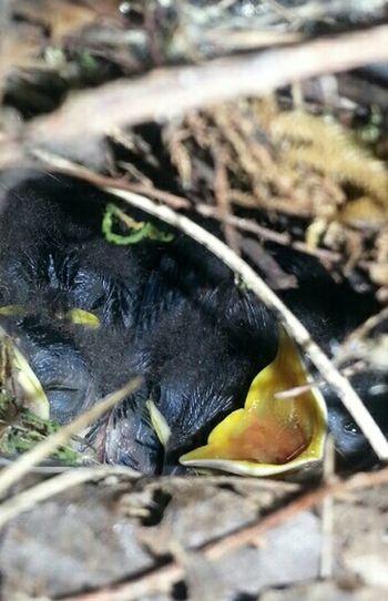 NATURE Baby Birds Wren Chicks Nesting, Audubon One Hungry Open mouth