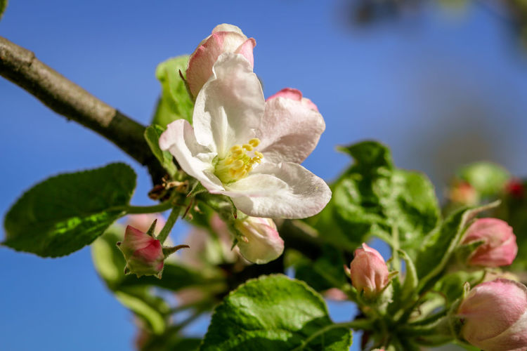 Close-up of apple blossom Blossom Selective Focus Pink Color Springtime Pollen Beauty In Nature Close-up Nature Apple Blossom Plant Freshness Flower Outdoors Botany