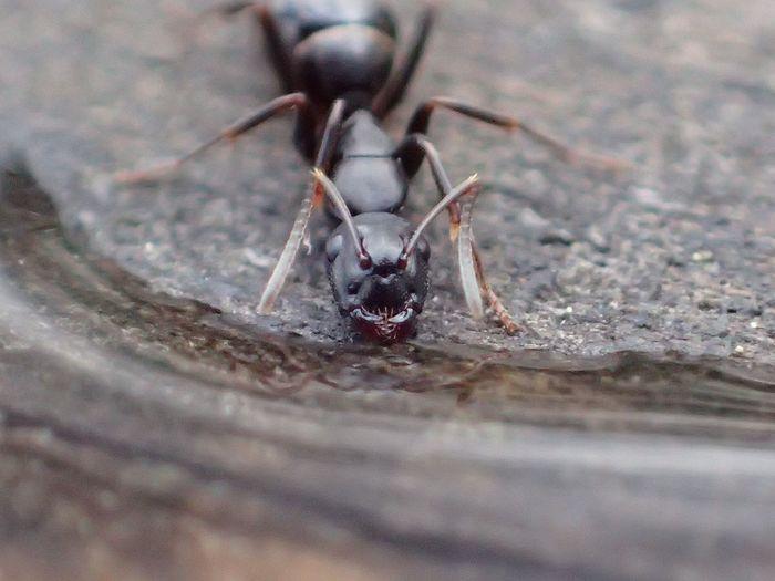 Ant Animal