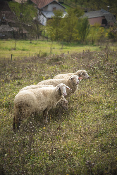 Sheep grazing grass in an open summer field Animal Themes Beauty In Nature Cow Day Domestic Animals Field Grass Grazing Landscape Livestock Mammal Nature No People One Animal Outdoors Sheep Tree