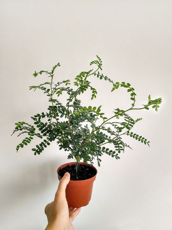 Zanthoxylum piperitum young plant in flowerpot, Japanese pepper plant in vertical orientation, nobody. Holding Human Hand Plant Hand Human Body Part Nature Potted Plant Studio Shot Zanthoxylum Piperitum Zanthoxylum Japanese Pepper Plant Houseplant
