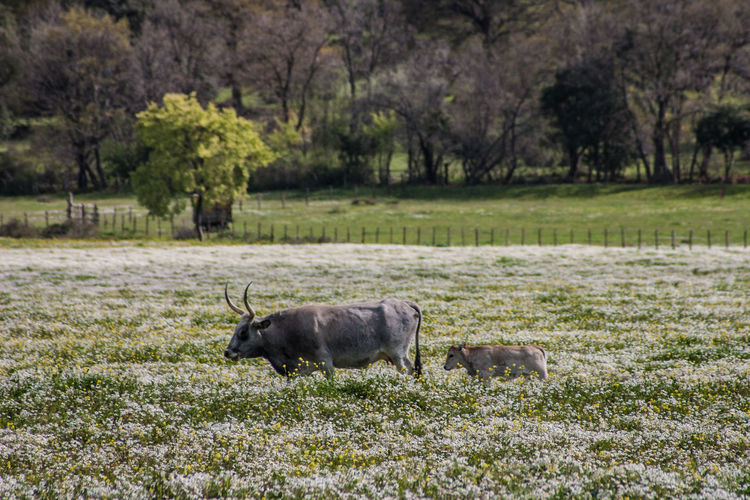 Maremma field with white flowers and buffalo cows Animal Animal Themes Animal Wildlife Animals In The Wild Day Field Grass Mammal Nature No People Outdoors Tree Young Calw Cow Domesticated Animal Tag Calf Farmland Grazing Farm Animal Pasture Herbivorous