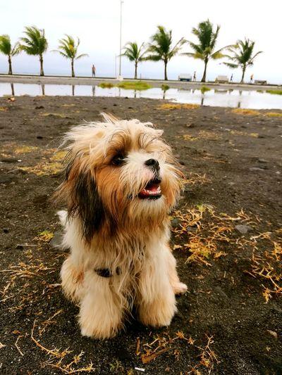 EyeEm Selects Baby Domestic Animals Beach Pets Dog Outdoors Sand Water Nature Sky Close-up Eyeem Philippines Huaweigr52017 PhonePhotography Philippines Beachdays Shitzu Babylove