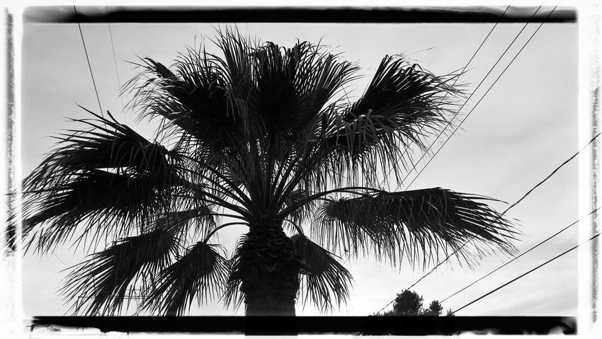 Auto Post Production Filter Cloud - Sky Coconut Palm Tree Day Growth Leaf Low Angle View Nature No People Outdoors Palm Leaf Palm Tree Plant Silhouette Sky Tranquility Transfer Print Tree Tree Trunk Tropical Climate Tropical Tree Trunk