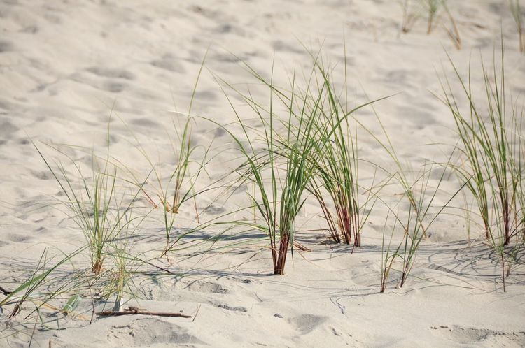 Beach Plant Beach Photography Soft Sand Dunes Beachside Nida, Lithuania