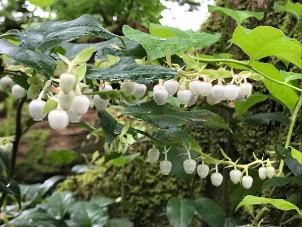 Salal Growth Nature Flower Leaf Beauty In Nature White Color Outdoors Forest Forest Photography Forestwalk Walkinthewoods Berries Collection Natures Bounty