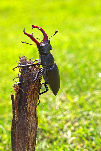 le LUCANE ou CERF-VOLANT ! (Lucanus cervus, Coléoptère Lucanidae) Animals In The Wild Beetle Beetle Insect Nature Close-up Coléoptère Day Focus On Foreground Insect Invertebrate Nature No People One Animal Outdoors Wood - Material