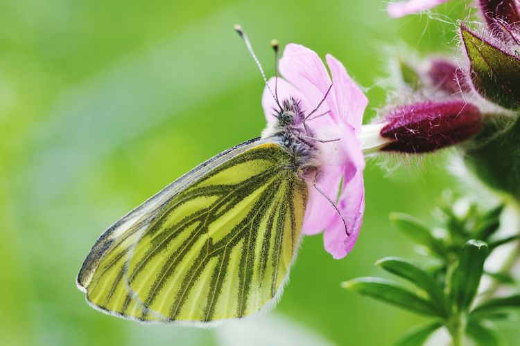 Insect Nature Fragility Flower Plant Beauty In Nature Close-up No People One Animal Growth Outdoors Living Organism Freshness Flower Head Day Butterfly ❤ Butterfly Butterfly - Insect Butterflies Butterfly Collection