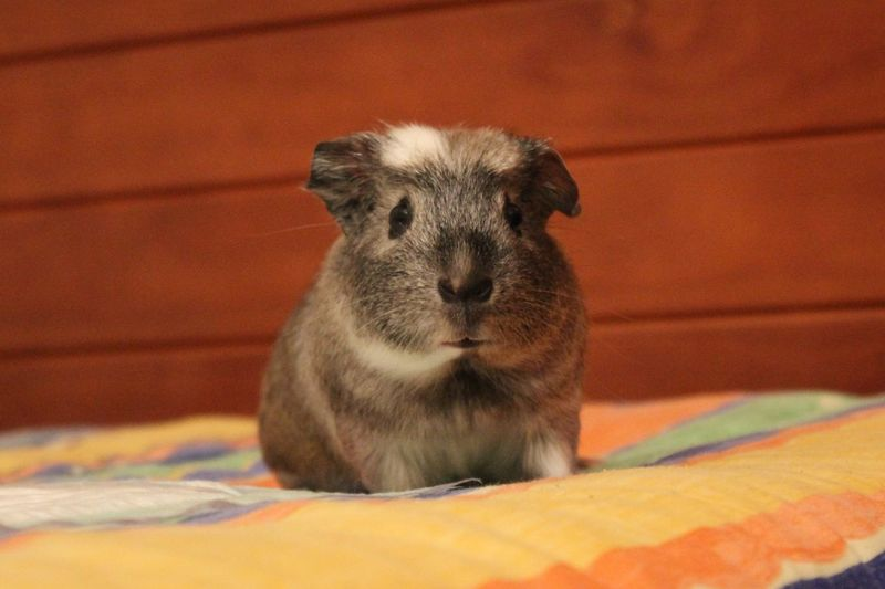 Guineapig Guinea Pig Guineapigs Bed One Animal Animal Themes Animal Wildlife Mammal Portrait Looking At Camera Indoors  No People Close-up Day Pets