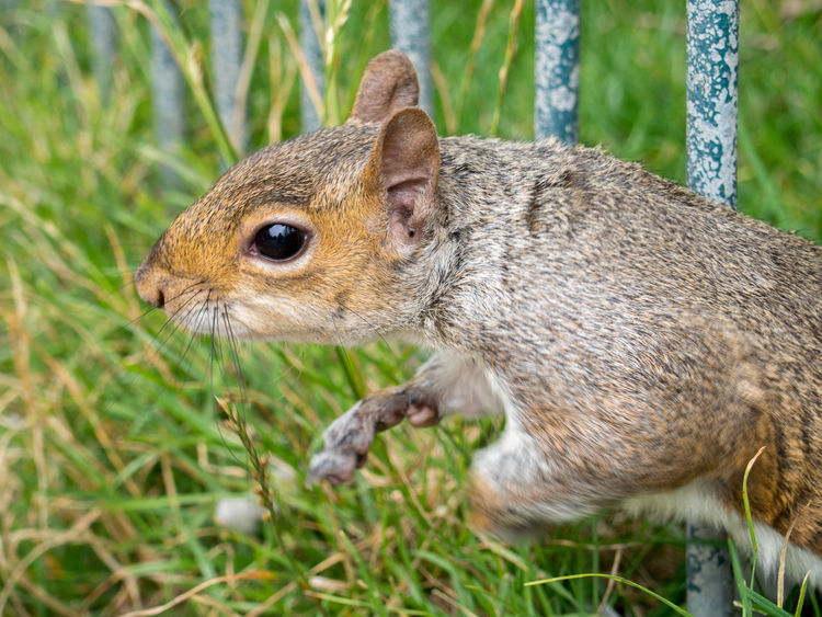 Animal Animal Themes Animal Wildlife Animals In The Wild Awareness Big Eye Close-up Day Fur Got You Grass Ground Level View Mammal Nature No People One Animal Outdoors Park Life Squirrel Squirrel Closeup Squirrel Fur Squirrel Life Squirrel Photo Squirrel Portrait Whiskers