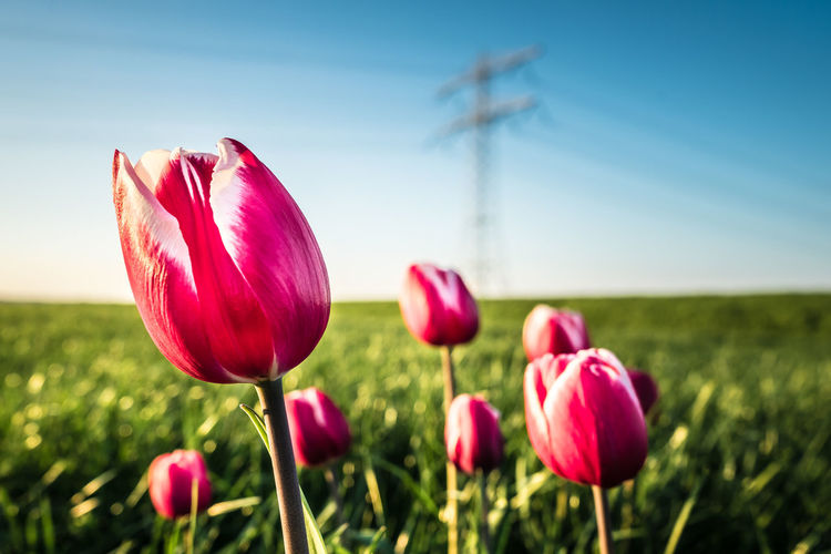 Beauty In Nature Clear Sky Close-up Day Field Flower Flower Head Focus On Foreground Fragility Freshness Growth Nature No People Outdoors Petal Pink Color Plant Red Rural Scene Sky Summer Sunlight Tranquil Scene Tranquility Tulip
