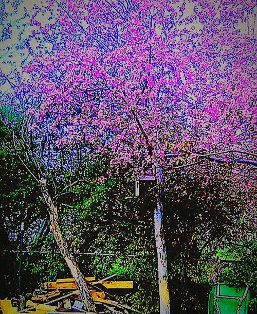Violet Tree blossoms Crab Apple Tree