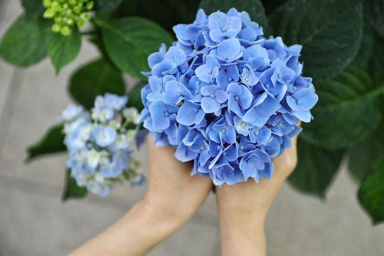 수국 한아름 두손모아.. . . #하루한컷 #수국 #하네다공항 #5DMARK4 #신계륵 #EF2470F28LIIUSM Human Hand Flower Flower Head Hydrangea Blue Summer High Angle View Close-up Plant