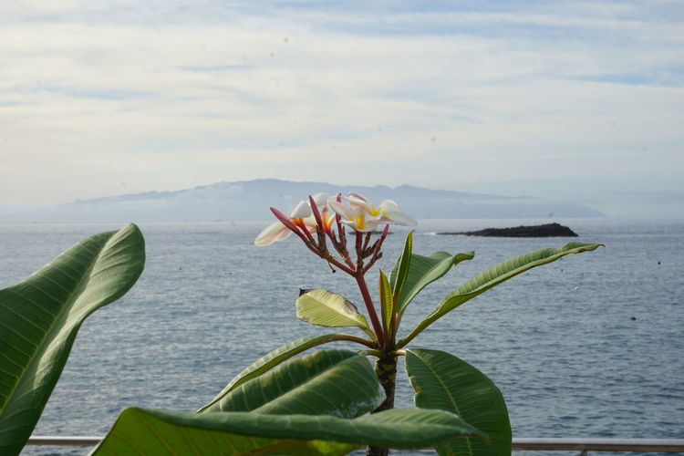 LaGomera Ocean View Oceanside Tenerife España Beauty In Nature Close-up Day Flower Flower Head Fragility Freshness Green Color Growth Lacaeta Leaf Nature No People Ocean Outdoors Plant Sky Tenerife Tenerife Island Teneriffa Water