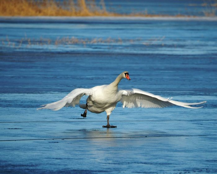 Bird Water Animals In The Wild Animal Wildlife Nature Animal Themes Spreading Wings Sea Bird Spread Wings Animals In The Wild Frozen Sea Winter Nature Outside One Animal Swan Sunny Winter Day Nature Beauty In Nature Sea Cold Temperature Beautiful Nature Ice Winter Motion