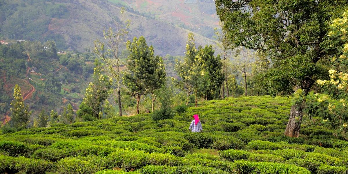 OOTY Green Color Landscape Nature Tea Garden Tea Garden Worker India