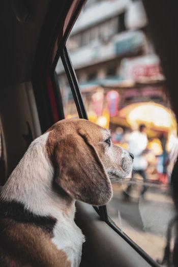 cuddles Animal Outdoor Car Car Window EyeEmNewHere Pets Dog Looking Through Window Beagle Close-up Pet Collar