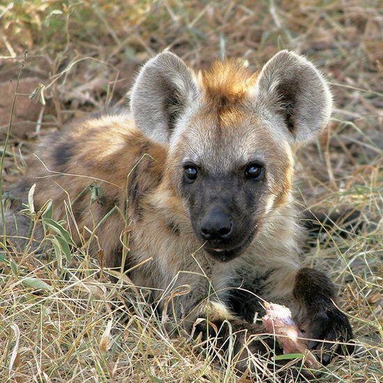 Spotted Heyena Pup in Krugernationalpark @Animals Wildlife Igersmp Natureaddict Animalsaddict Africa Squaredroid Aviary Africanamazing