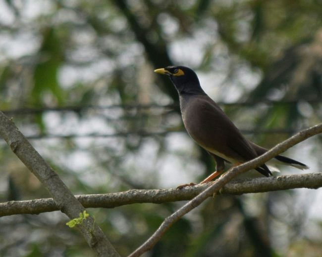 Beautiful Myna..... Indian Myna.... Bird Bird And Nature Bird Photography Object Innocently Attractive Cute And Sweet Check These Out Hello World Eyeem Best Image EyeEm Best Shots From My Point Of View Check This Out EyeEm Gallery EyeEm Eyeem4photography Eye4photography  Showcase March Getty Images Q EyeEm Nature Lover Element Of Nature Natural Inhabitants Eyeem Wild Life EyeEm Selects