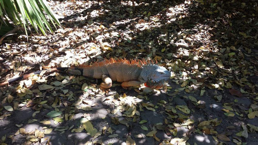 Iguana Ixtapa Hahaha Ilike ...Monday...