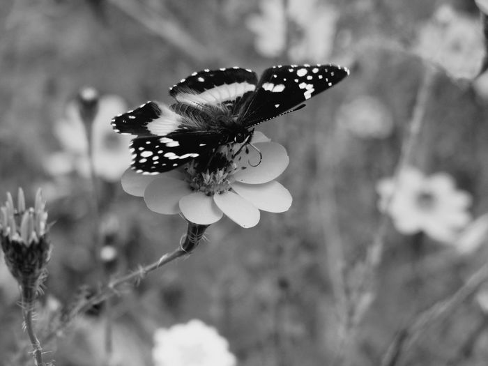 Night Life Black And White Blackandwhite Blackandwhite Photography Black And White Flowers Buterfly Flower Collection No People Flower Outdoors Fragility Pollination Beauty In Nature Day Spread Wings Close-up Freshness Plant Focus On Foreground