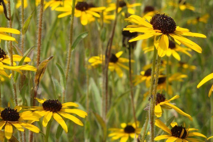 Wild Flowers Flower Head Black-eyed Susan Flower Botanical Garden Yellow Summer Sunflower Beauty Petal Coneflower