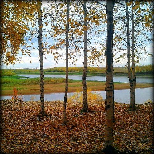 мегион сибирь осень роща березы мега север siberia north trees birchwood mega megion yellow autumn желтое