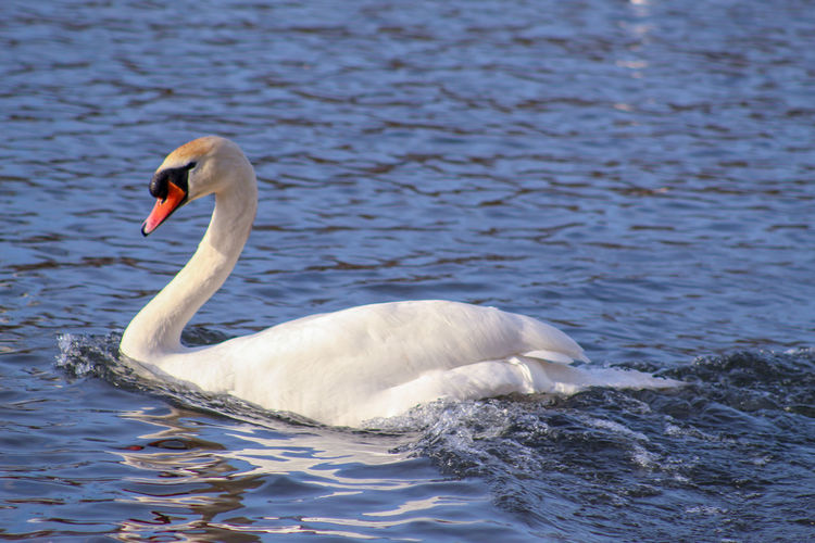 good morning EyeEm friends happy Snappy Friday 👍👍👍😊🧙‍♂️ Female Animal Swan White Swan Mute Swan Fresh Water Bird Lakeside Feather  Swimming Animal EyeEm Best Shots EyeEm Nature Lover EyeEmBestPics EyeEm Best Shots - Nature Wonders Of Nature Springtime