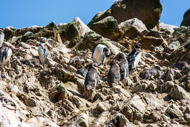 Low Angle View Of Penguins On Rock Against Sky