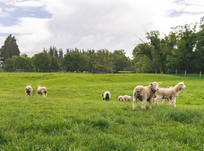 Agriculture Animal Beauty In Nature Cloud - Sky Day Domestic Animals Farm Flock Of Sheep Grass Grazing Landscape Livestock Mammal Nature No People Outdoors Rural Scene Sheep Social Issues