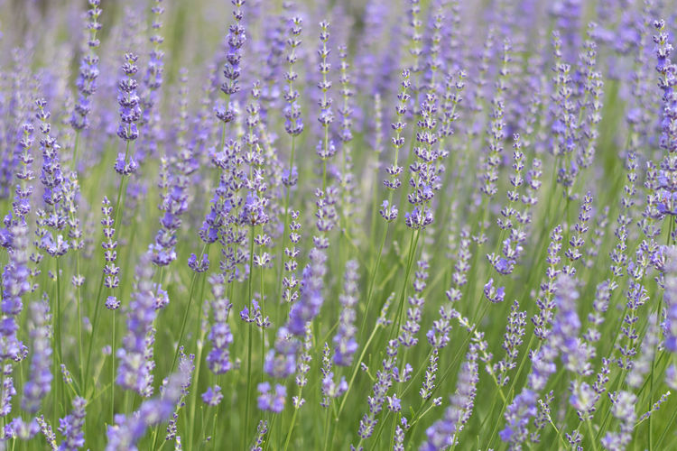 Beauty In Nature Blooming Blossom Blue Bokeh Botany Close-up Flower Flower Head Focus On Foreground Fragility Freshness Growing Growth In Bloom Lavender Lavender Farm Lavender Field Lavenderbythebay Lavenderflower No People Outdoors Petal Purple Selective Focus