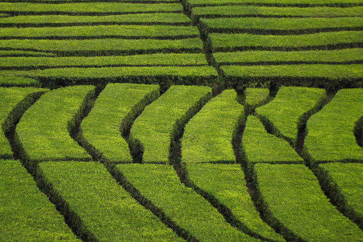 Natural maze Plant Environment Green Color No People Nature Growth Land Agriculture Landscape Bush Maze Pattern Hedge Beauty In Nature Grass Field Confusion Garden Formal Garden Farm Ornamental Garden Gardening Tea Plantation  Nature Freshness